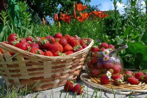 дача-ягоды